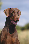 http://tierfotoagentur.de/Hundefotos/Dobermann_Hundefotos_Dobermann_Dobermann_Doberman_Pinscher_XT_MjAwNy8wOC8yOC8=/TM-01266_42379.jpg