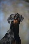 http://tierfotoagentur.de/Hundefotos/Dobermann_Hundefotos_Dobermann_Dobermann_Portrait_Doberman_Pinscher_Portrait_XT_MjAxMi8wNS8wNC8=/AP-10720_222201.jpg