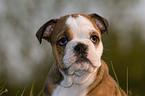 http://tierfotoagentur.de/Hundefotos/Englische_Bulldogge_Hundefotos_Englische_Bulldogge_Englische_Bulldogge_Welpe_English_Bulldog_Puppy_XT_MjAxMi8wMy8wNy8=/JB-01400_216453.jpg