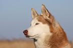 http://tierfotoagentur.de/Hundefotos/Husky_Hundefotos_Husky_Siberian_Husky_XT_MjAxMS8wNS8yNS8=/IF-06722_182093.jpg