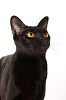 black Asian Katze