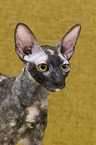 Cornish Rex Portrait