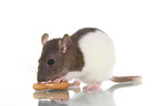 Farbratte / fancy rat