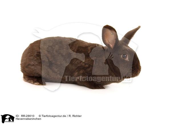 RR-28610 - Havannakaninchen / bunny Bilder Fotos ...