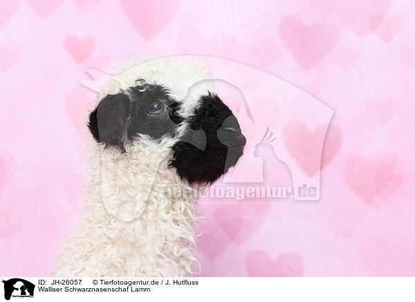 Jh 26057 Walliser Schwarznasenschaf Lamm Bilder Stockbilder Kaufen