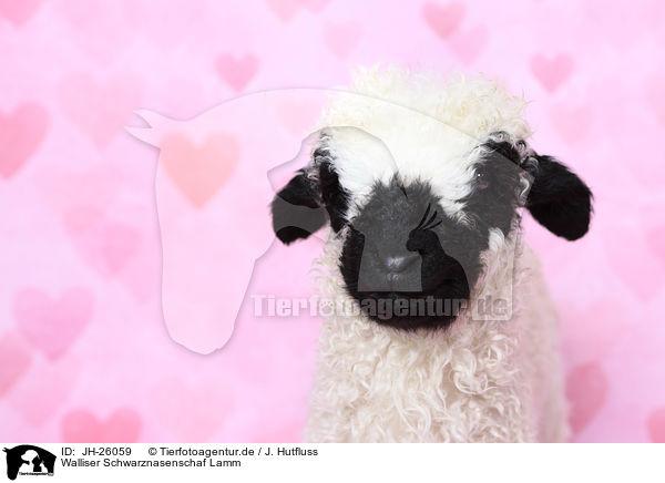Jh 26059 Walliser Schwarznasenschaf Lamm Bilder Stockbilder Kaufen