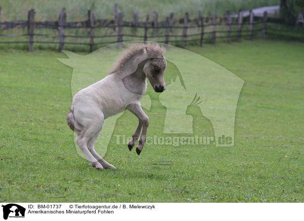 Bm 01737 Amerikanisches Miniaturpferd Fohlen Bilder Stockbilder