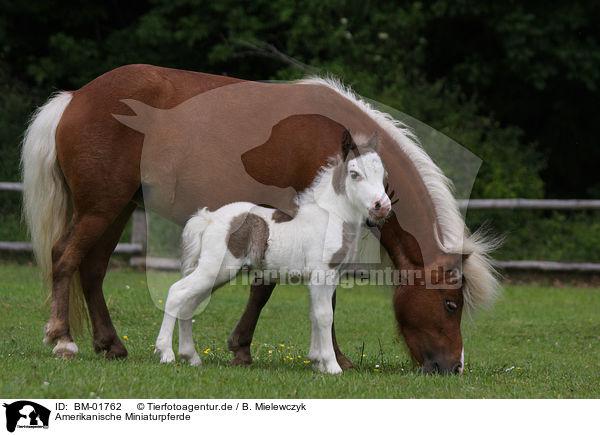Bm 01762 Amerikanische Miniaturpferde Bilder Stockbilder Kaufen