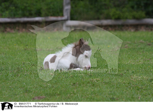 Bm 01771 Amerikanisches Miniaturpferd Fohlen Bilder Stockbilder