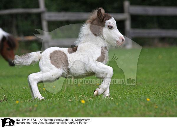 Bm 01772 Galoppierendes Amerikanisches Miniaturpferd Fohlen