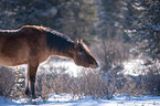 Canadian Wild Horse