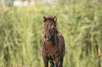 Mini Shetlandpony
