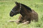 Noriker Fohlen / foal