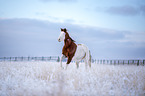 Paint Horse im Winter