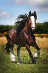 trabendes Shire Horse