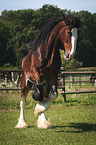 buckelndes Shire Horse
