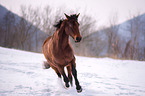 Ungarisches Warmblut im Winter