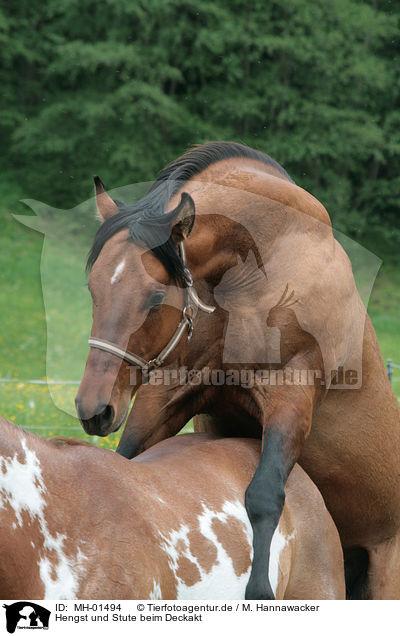 Hengst und Stute beim Deckakt / stallion mating mare / MH-01494