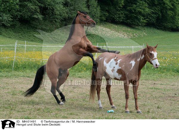 Hengst Und Stute Beim Deckakt Stallion Mating Mare Mh