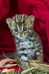 junge Asian Leopard Cat