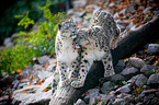 Schneeleoparden / snow leopards