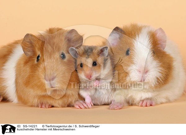 hamsters and guinea pigs comparison I met a lady in petco, she and her son were looking at hamsters i started to share with her about piggies and how to make the cage i didn't want to talk her son out.