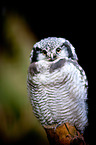 Sperbereule / northern hawk owl