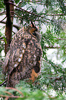 Waldohreule / northern long-eared owl