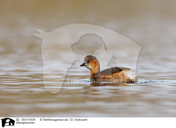 Zwergtaucher / little grebe / DV-01434