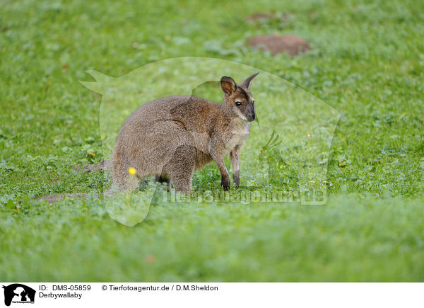 Derbywallaby / tammar wallaby / DMS-05859