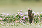 Europäischer Ziesel / European ground squirrel