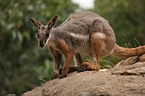 Gelbfuß-Felskänguru / yellow-footed rock-wallaby
