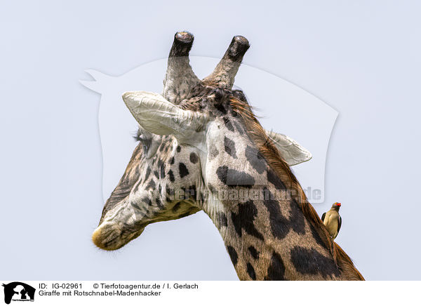 Giraffe mit Rotschnabel-Madenhacker / Giraffe with Red-billed Oxpecker / IG-02961