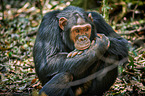 Schimpanse / common chimpanzee