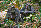 Schimpansen / common chimpanzees